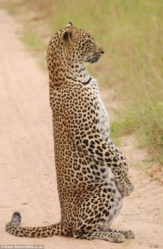 The leopard raised herself on her haunches at the game reserve in South Africa