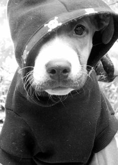You gotta LOVE dogs in a hood Tattoo Pitbull, I Love Dogs, Cute Dogs, Dog Friendly Hotels, Dog Store, Pitbull Terrier, My Animal, Dog Friends, Doge