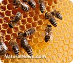 Colony Collapse Disorder in bees triggered not just by pesticides, but also by GMO high-fructose corn syrup