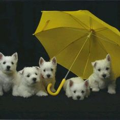 Adorable!  Although most of my friends and family know that I don't care for Westies (because of my neighbor who has a puppy mill breeding Westies - 17, total, one summer), these are cute!