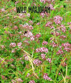 Wild marjoram