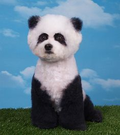Creative grooming: poodle groomed into a panda