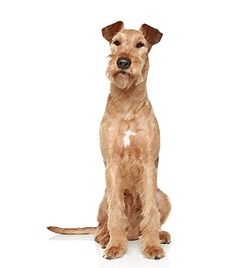 The #IrishTerrier is intense, confident, independent and stubborn but also good-natured and calm dog breed. It needs daily physical and mental exercise otherwise it will get bored and brash. The Irish Terrier is a loyal companion and very playful. It is nice towards children but aggressive towards other dogs and suspicious of strangers.