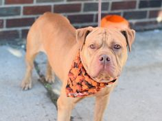 KING CHEETO aka KING - A1093270 - - Brooklyn  Please Share:TO BE DESTROYED 10/21/16: **AVAILABLE FOR PUBLIC ADOPTION ON THE ACC WEBSITE** Please Share:-  Click for info & Current Status: http://nycdogs.urgentpodr.org/king-a1093270/