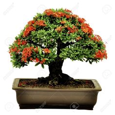Bonsai Images, Stock Pictures, Royalty Free Bonsai Photos And ...
