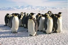 Emperor penguins are more willing to relocate than expected