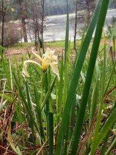 The lovely Sierra Iris dot the shoreline at Snake Lake in the spring.