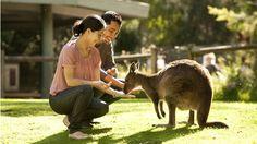 Couple feeding a kangaroo, Healesville Sanctuary, Yarra Valley and Dandenong Ranges, Victoria, Australia