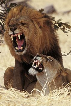 Angry lion and lioness. Bein a Leo lioness and fierce mama lion. Beautiful Cats, Animals Beautiful, Animals And Pets, Cute Animals, Wild Animals, Gato Grande, Lion And Lioness, Lion Love, Image Chat