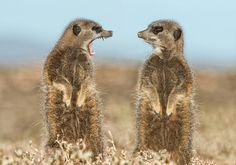 Two meerkats appearing to have a dispute, Little Karoo, South Africa, May, 2015. (Photo by Brigitta Moser/Barcroft Images/Comedy Wildlife Photography Awards 2016)