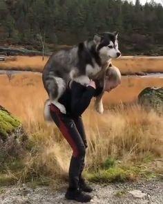 Cute Funny Dogs, Cute Funny Animals, Funny Animal Videos, Animal Memes, Baby Huskys, Dog Backpack, Cute Stories, Cute Little Animals, Cute Animal Pictures