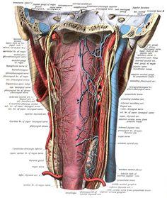Vagus Nerve, Nerf Facial, Nerf Vague, Neurone, Emperor, Peripheral Nervous System, Nerve Cells, Adrenal Glands