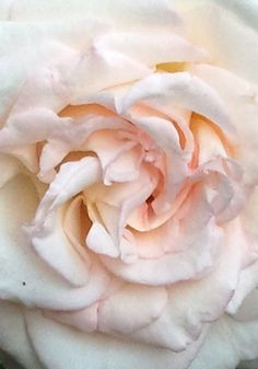 close up rose