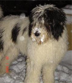 Mioritic Sheepdog from Romania http://www.dogbreedinfo.com