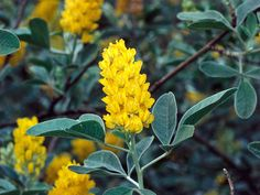 Cytisus battandieri, otherwise known as Pineapple Broom, is a deciduous shrub that boasts gray green leaves. Flowers are pure yellow and project a pineapple scent that is present from May to June.