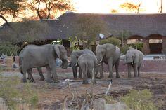 Elephants at Elephant Sands, Botswana