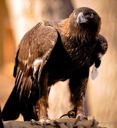 Golden Eagle. Rocky Mountain Raptor Program, Fort Collins, CO https://www.facebook.com/JulieannaDPhotography?fref=ts