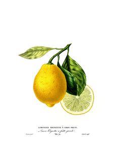 Art print, lemon.
