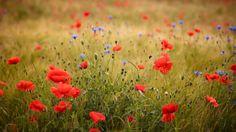Webshots - Field of Poppies, Friedberg, Bavaria, Germany