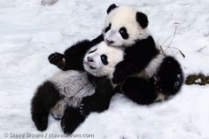 Pandas in the snow, Sichuan, China. Steve Bloom Images.
