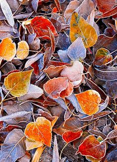 Autumn Frost on leaves in Yosemite, California