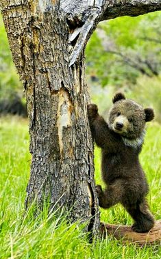 Cute Grizzly Bear Cub!