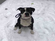 My name is Showtime. I am described as a neutered male, black and white Bully breed. The shelter staff think I am about 3 years old. I have been at the shelter since Jan 31, 2018. I came in with a chip or tag. My predicted rescue date was Feb 07, 2018 but the date could have changed. Please contact CACC if you are interested in rescuing me.