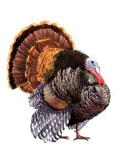Turkey Drawing, Turkey Painting, Watercolor Bird, Watercolor Animals, Beautiful Birds, Animals Beautiful, Geese Breeds, Turkey Bird, Thanksgiving Wishes