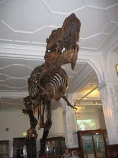"""Stan"" - Gracile T. rex at Manchester Museum. New study suggests that T. rex is on the wrong branch of the dinosaur family tree!"