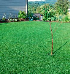 Replace Your Lawn Or Just Give It A Helping Hand By Planting Micro Clover  Seeds To