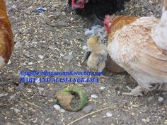 Using a broody hen can be the easiest way to hatch chicks. Find out exactly how this process works and get some tips to make her hatch successful.