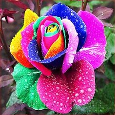 20-Seeds-Rare-Rainbow-Rose-Seed-Garden-Home-Multicolor-Plants