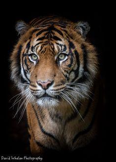 ~~Sumatran Tiger by David Whelan Photography~~