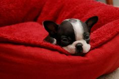 sleepy Boston terrier pup