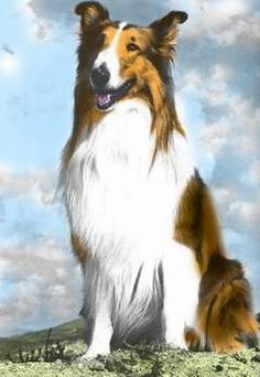 Lassie is a fictional collie dog character created by Eric Knight.  Published in 1940, the novel was filmed by MGM in 1943 as Lassie Come Home with a dog named Pal playing Lassie.  In 1954, the long-running, Emmy winning television series Lassie debuted and, over the next 19 years, a succession of Pal's descendants appeared on the series.  Pal's descendants continue play Lassie today