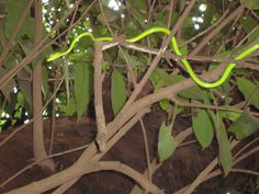 Tree Snake, Matheran