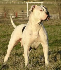 American Bulldog who needs a brother for protection when you have a boss like this :D