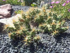 Opuntia fragilis var. brachyclada