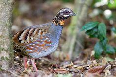 Birds of India: Rufous-throated partridge - Arborophila rufogulari...