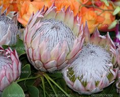Picture of exotic rare hawaii Pink White Protea cynaroides Flower called Giant Protea, King Protea, Honeypot. Its the National flower of South Africa stock photo, images and stock photography.