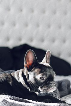 Kimfrenchiebulldog