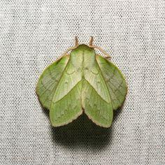Lappet Moth (Trabala sp., Lasiocampidae), male | by John Horstman (itchydogimages, SINOBUG)