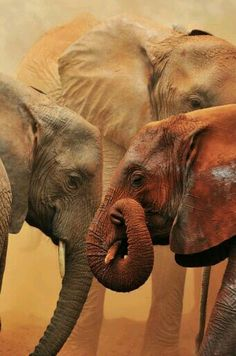 Tsavo Dust Bath 5 Elephant orphanage in Kenya, The David Sheldrick Wildlife Trust Elephants Never Forget, Save The Elephants, Baby Elephants, Beautiful Creatures, Animals Beautiful, Cute Animals, Elephas Maximus, Elephant Love, Elephant Family