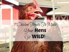 Not sure what treats to feed your chickens? Want to see your hens go wild? Here's 7 treats my hens go CRAZY for! From FrugalChicken