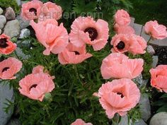 Oriental Poppy 'Helen Elizabeth' ~ No black spots, many are mis-identified because you see pics of ones with black spots incorrectly being labeled this name.
