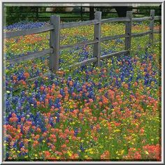 List of Texas Wildflowers | Wildflowers along Christmas Road east from Gay Hill. Texas, April 14 ...