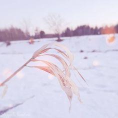 """Kappale luontoa ∆ Luontoblogi sanoo Instagramissa: """"#heinäkasvit #poaceae #heinä #grass #kasvikuvaus #plantphotography #luontokuvaus #naturephotography"""" Bangles, Bracelets, Instagram, Bracelet, Cuff Bracelets, Arm Bracelets, Bangle, Anklets, Anklets"""
