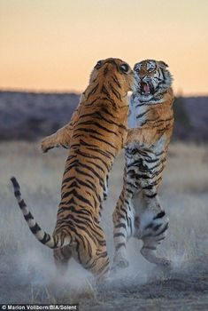 Marion Vollborn photographs tigers fight in South Africa | Daily Mail Online #BigCatFamily