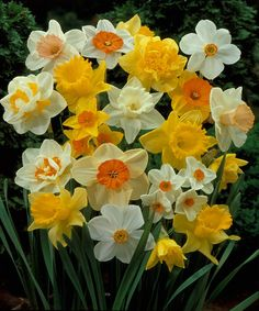 Look at this #zulilyfind! Assorted Daffodil Bulbs - Set of 25 #zulilyfinds