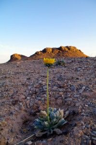 A Rare Plant Portrait: The Silverleaf Sunray, found in Clark County, Nevada, east of Las Vegas in the Lake Mead area. These plants are also found in Mohave County, Arizona, close to Lake Mead.